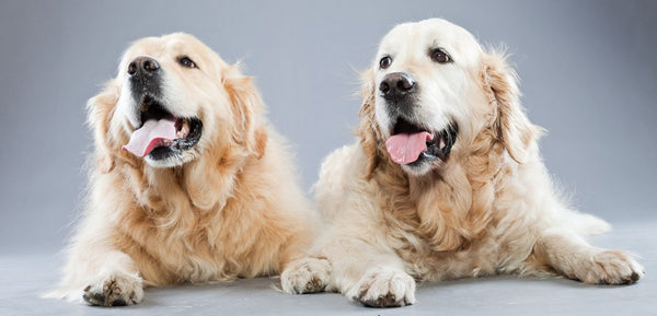 two senior Labrador dogs with dementia
