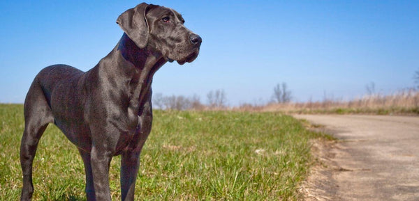 great dane dog prone to bloating