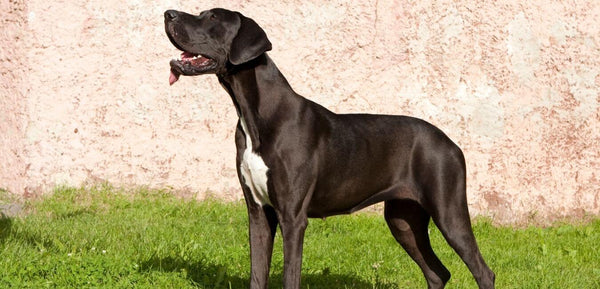 great dane giant dog breed