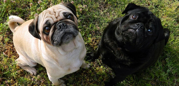 pug small dog breed