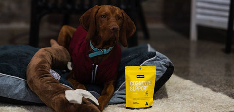 Hungarian vizsla with petz park cognitive support for dogs