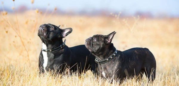two french bulldogs family dogs