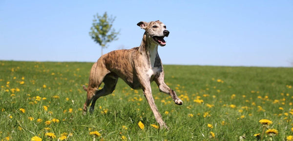 greyhound medium to large breed of dog