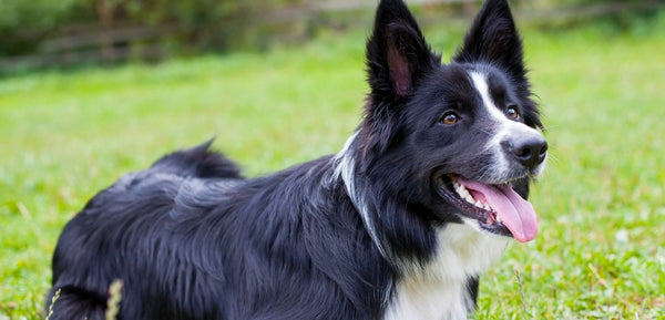 border collie looks black and white