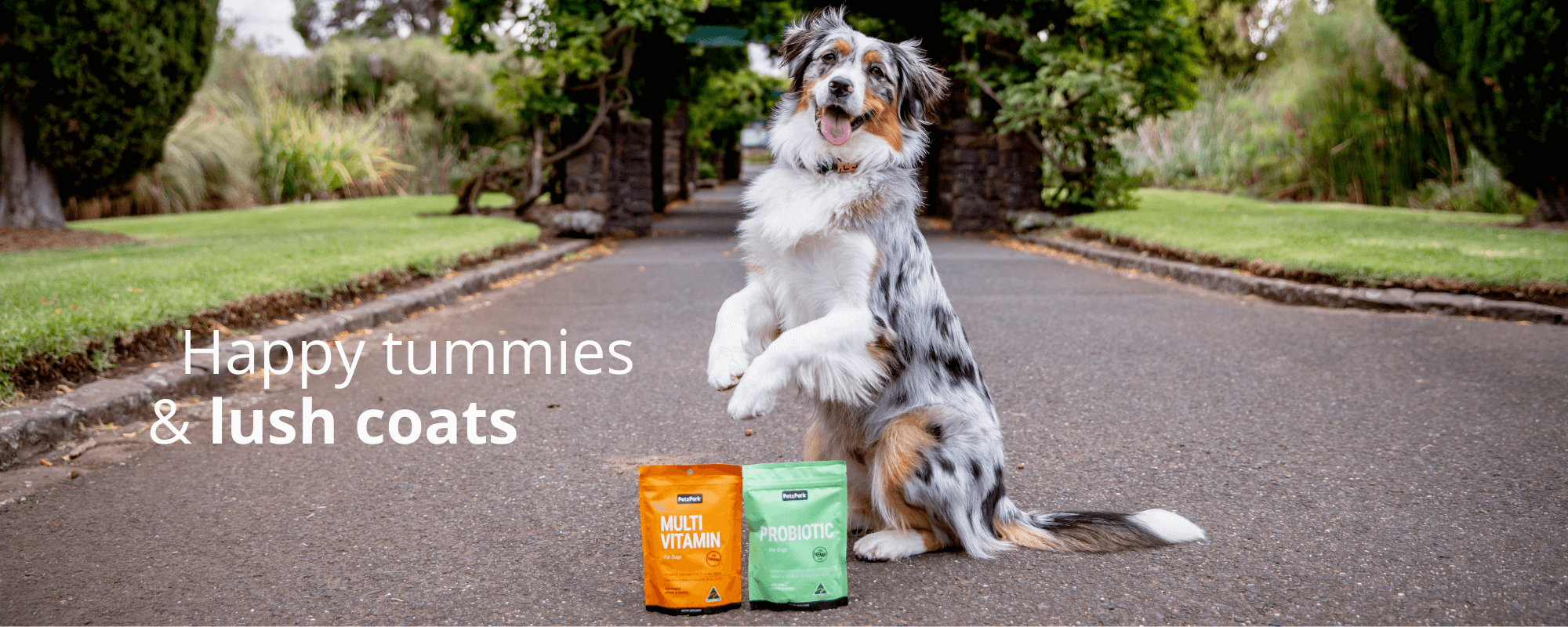 An Australian Shepard who has been using Petz Park Multivitamins and Skin and Coat supplements sits up on his haunches with his tongue lolling.