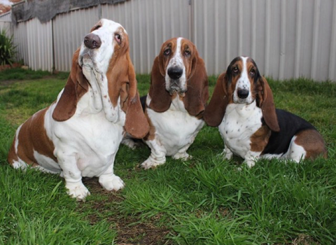 three senior basset hounds with hip and joint problems