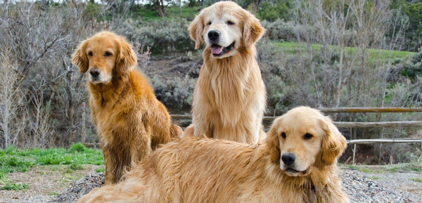 what do golden retrievers look like