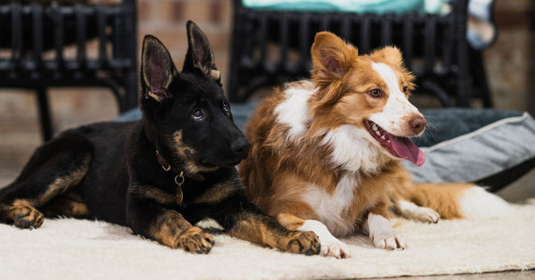 german shepherd puppy and border collie dogs