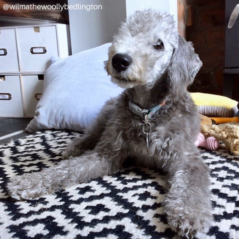 bedlington terriers are great family dogs