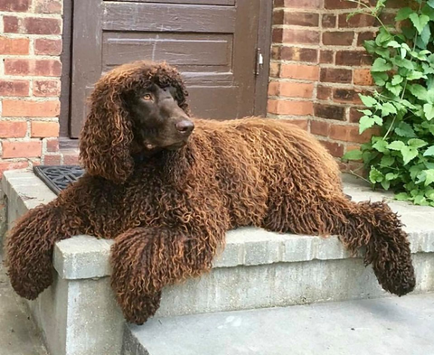 irish water spaniel needs to be brushed two to three times a week and has funny long hair
