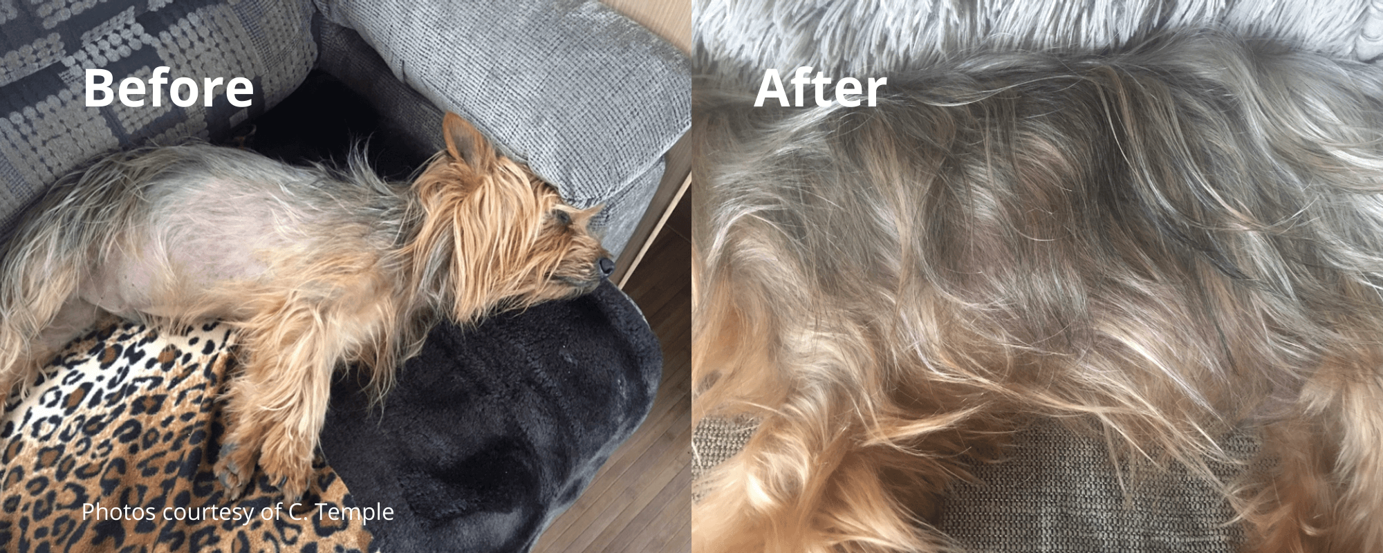 Trust in the results! Check out these before and after photos for Jack who's been using our Skin and Coat supplements.