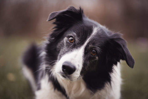 Border collie with anxiety