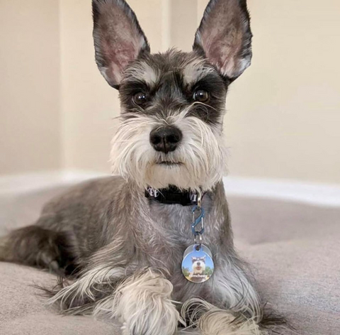 Schnauzer is a angry looking hypoallergenic dog