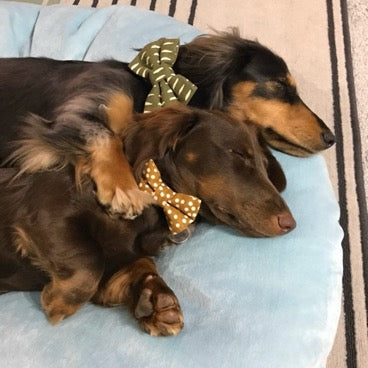 two cute dachshunds cuddling
