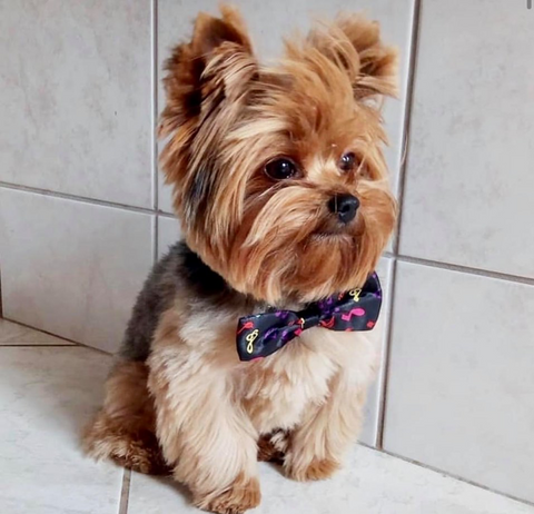 yorkie's are cute dogs that everyone loves