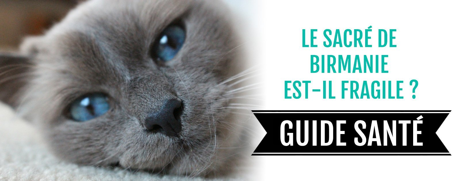 blog sacré de birmanie fragile