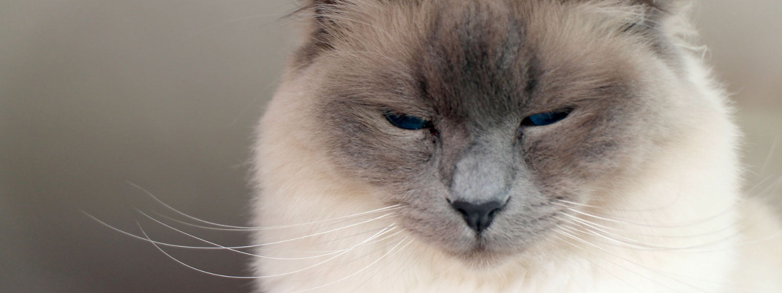 chat-birman-de-face