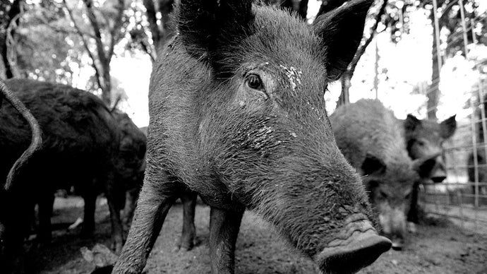 How to Poison Feral Hogs (and Only Feral Hogs)
