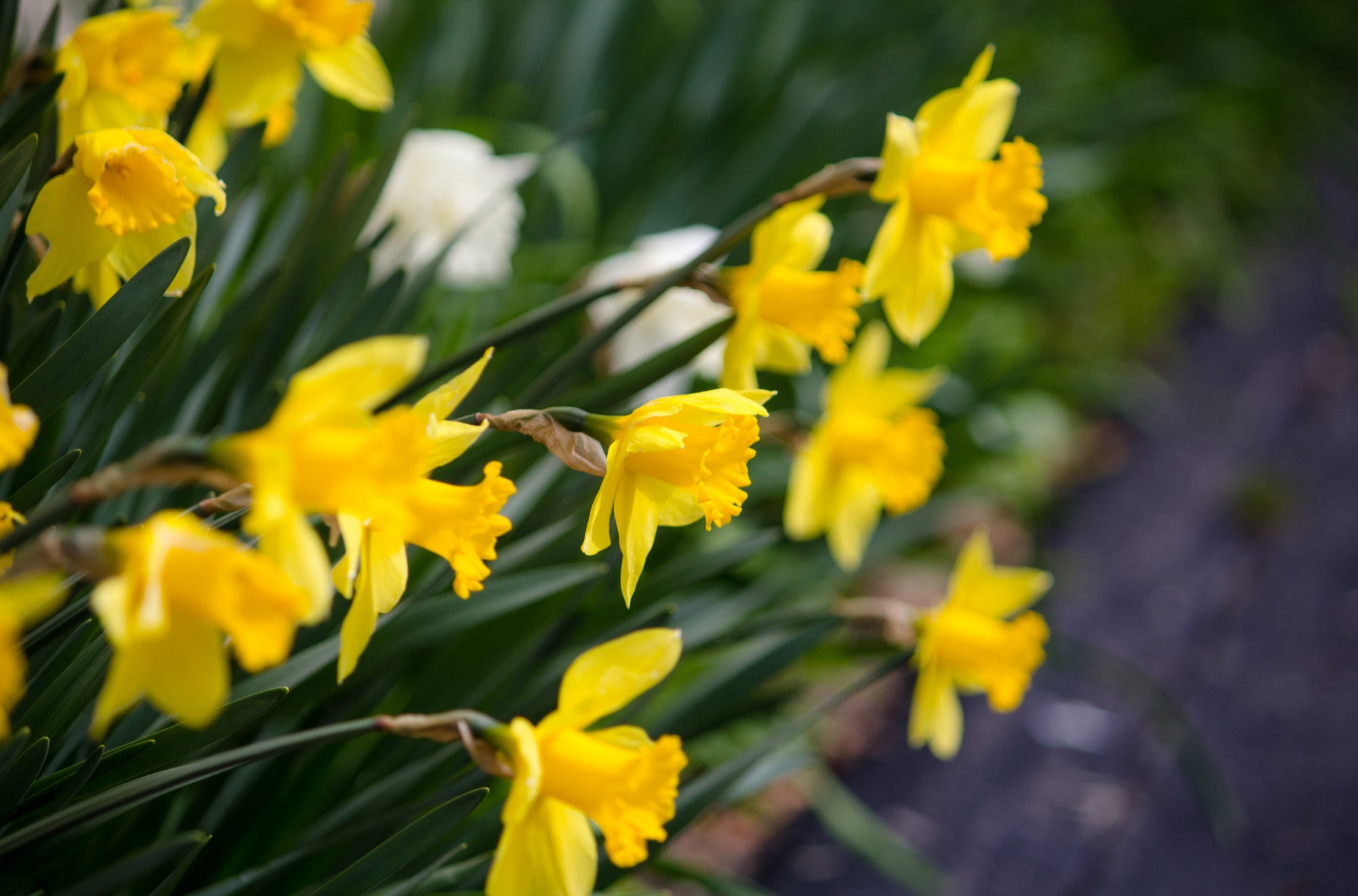 Daffodils are the perfect floral addition to any celebration or fresh new start | Talsam
