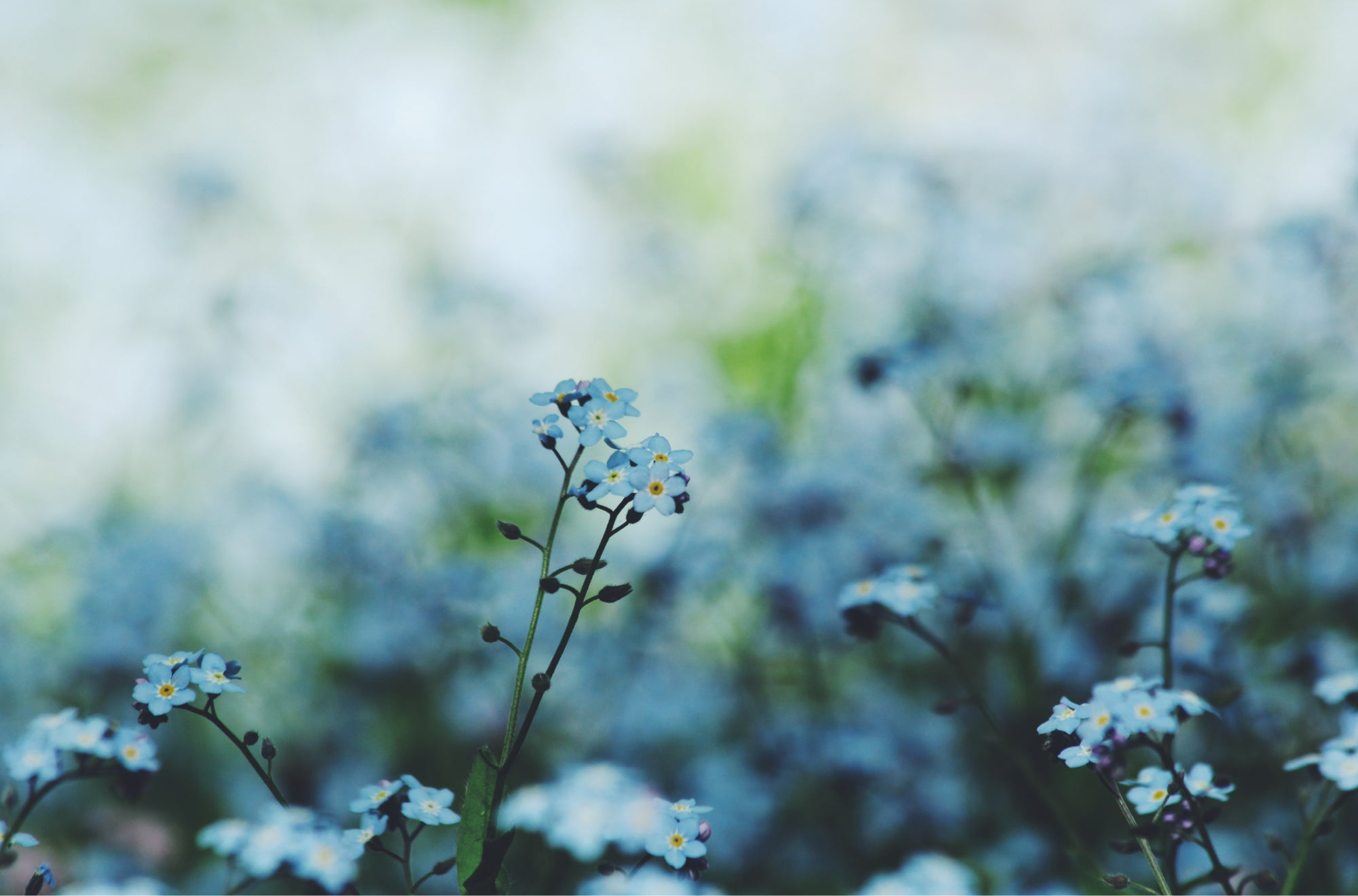 Send Forget-me-nots when celebrating the memories you've cherished with a loved one | Talsam