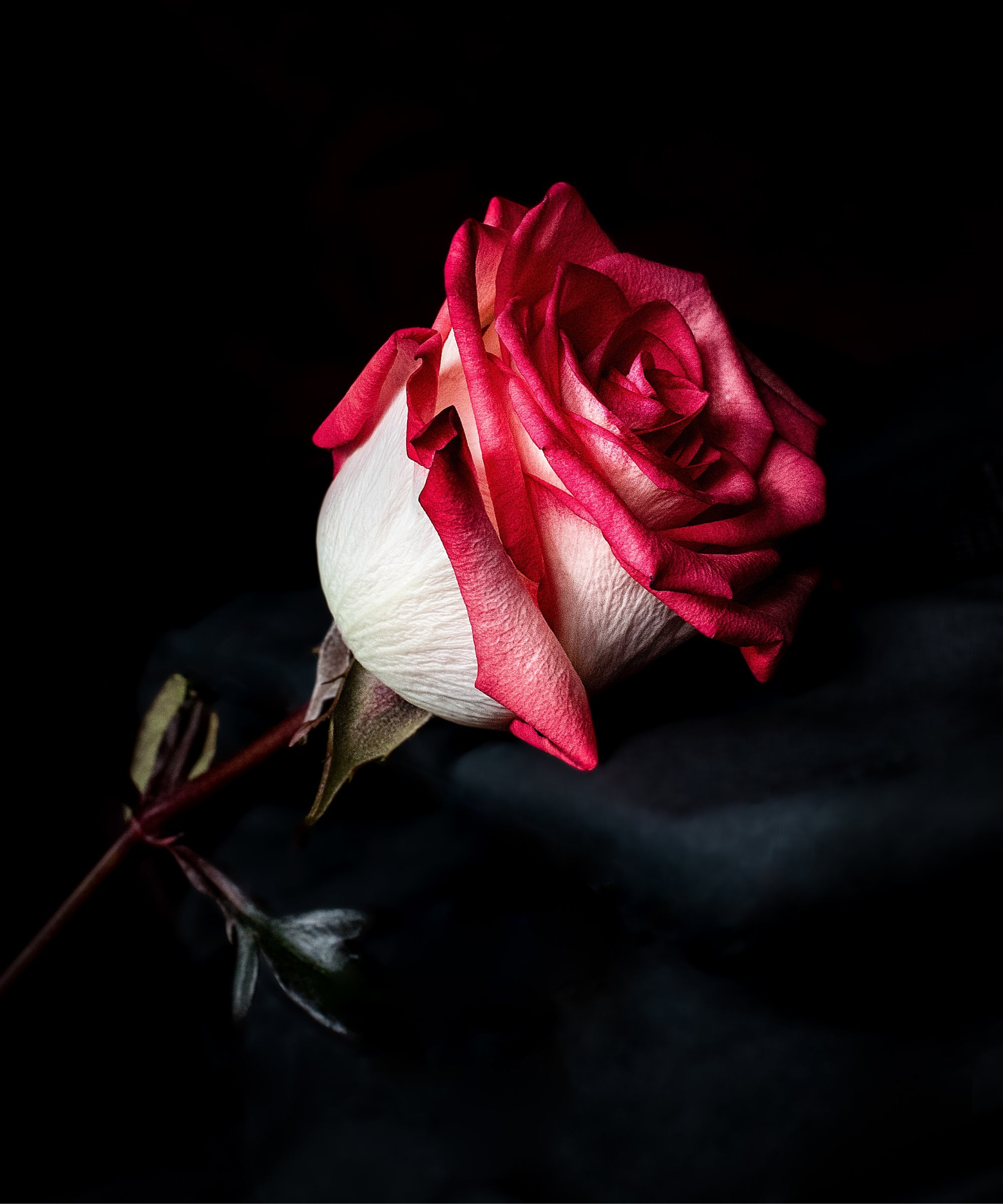 Nothing says 'I love you' more than a red rose | Talsam