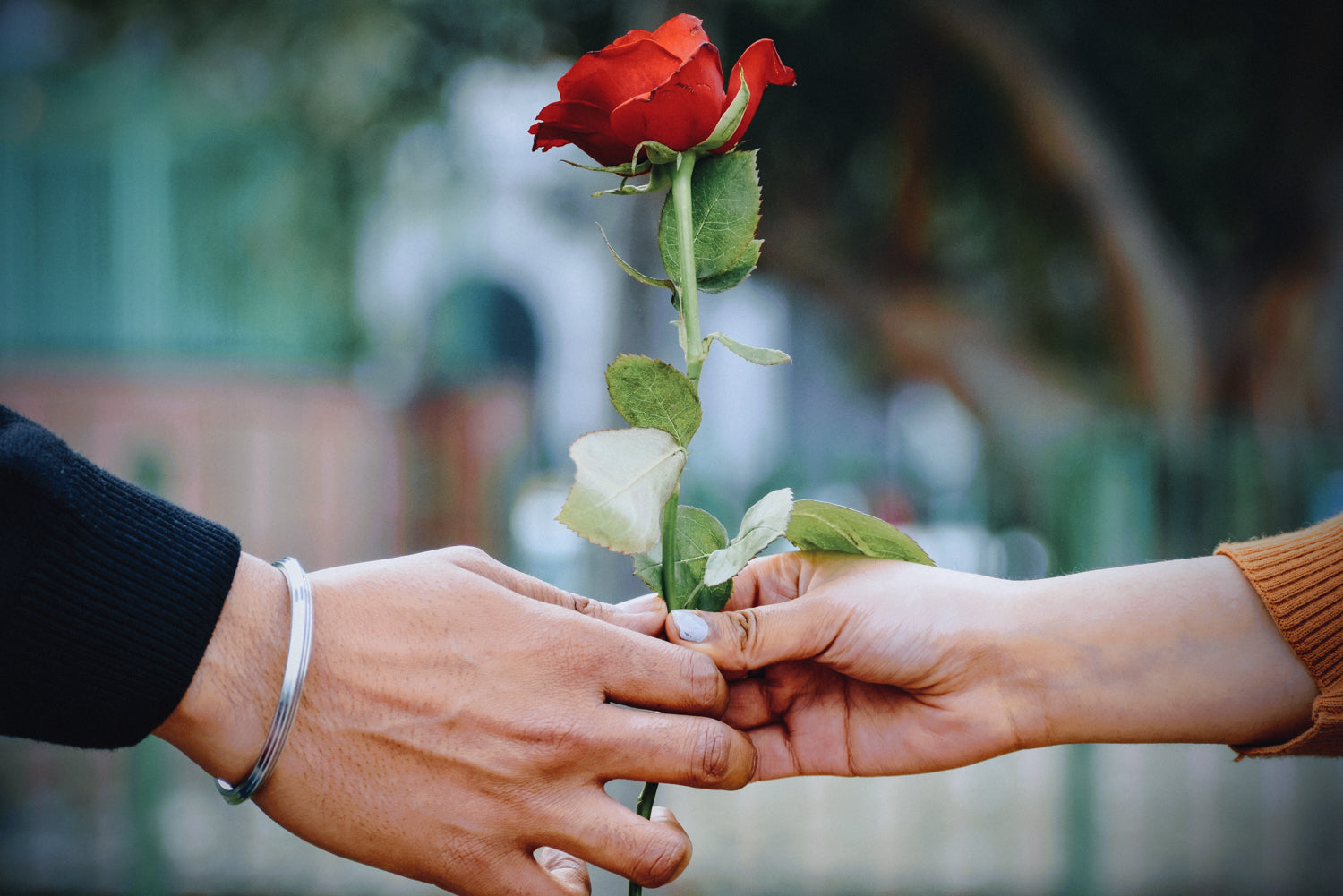 Two hands holding a rose