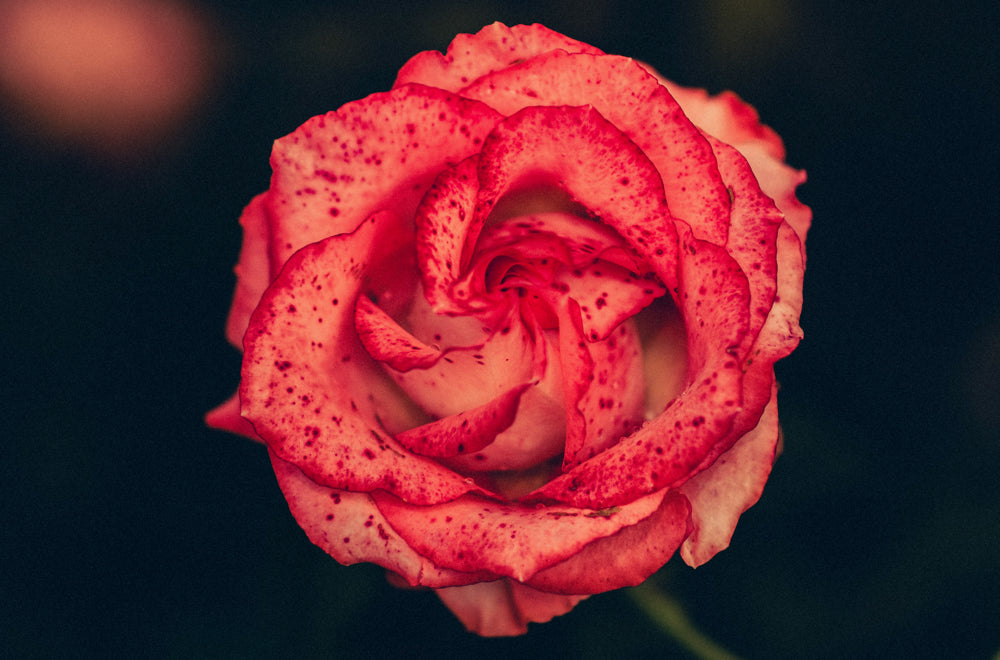 Send red roses to say 'I Love You' to someone you care deeply | Talsam