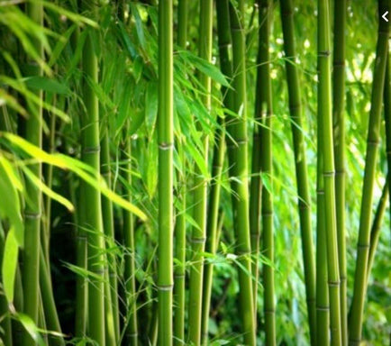 Oh Bamboo, We Love You