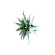 Mini Spike Succulent