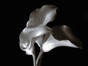 Calla Cluster Canvas Art