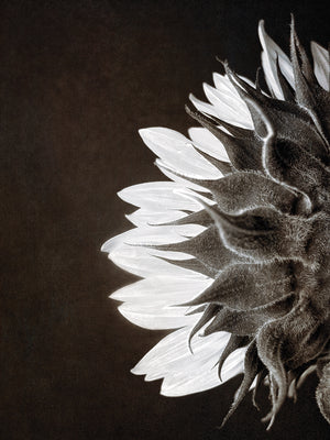 Sunflower Profile Canvas Art