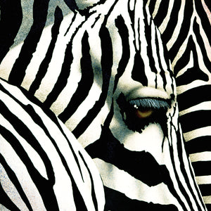 Do Zebras Dream in Color Canvas Art