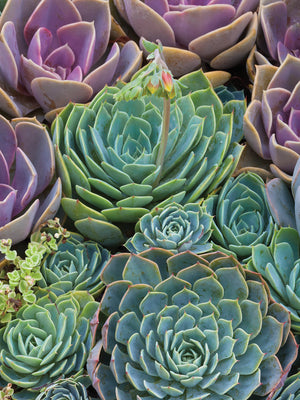 Succulent Gemstones III Canvas Art