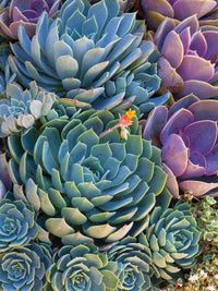 Succulent Gemstones IV Canvas Prints