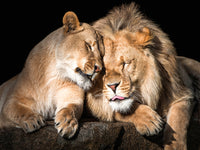 Lion Love Canvas Art