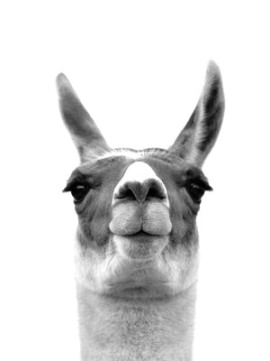 Listening Llama Canvas Art