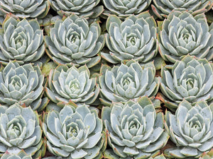 Succulent Grid Canvas Art