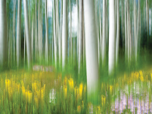 Aspens And Wildflowers Canvas Art