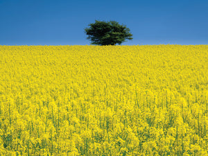 Lone Tree in Rape Field Canvas Art