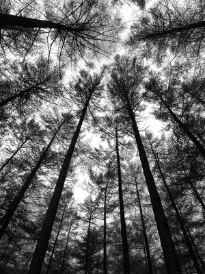 B&W Tall Forest Canvas Art