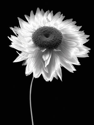 Flower B&W Canvas Art