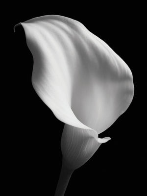 Lily on Black # 2 Canvas Art