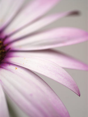 Purple Osteospurmum Gray Canvas Art