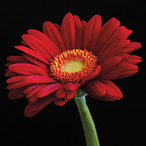 Red Gerbera on Black 01 Canvas Art