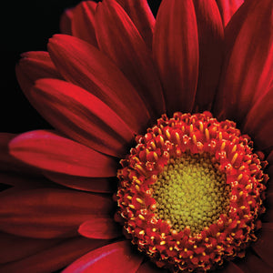Red Gerbera on Black 02 Canvas Art