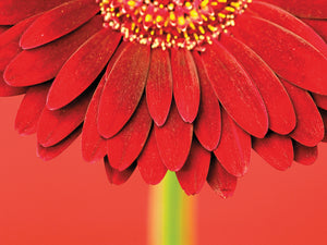 Red Gerbera on Red 04 Canvas Art