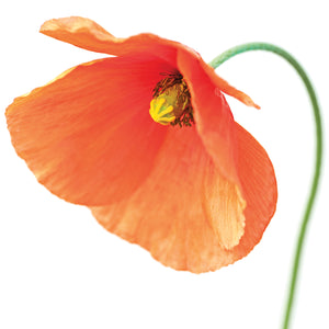 Red Poppy On White 01 Canvas Art