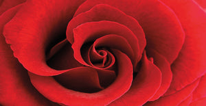 Red Rose 03 Canvas Art