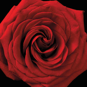 Red Rose 04 Canvas Art