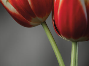 Red Tulips On Grey 02 Canvas Art
